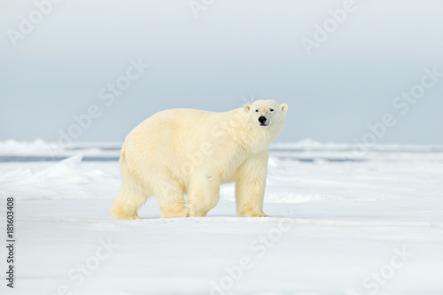 Polar bear on drift ice edge with snow a water in Arctic Svalbard. White animal in the nature habitat, Norway. Wildlife scene from Norway nature. Polar bear walking on ice, beautiful evening sky.