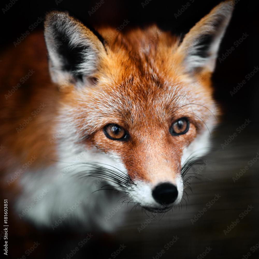 Fototapety, obrazy: Portrait of a red fox male, vulpes vulpes.