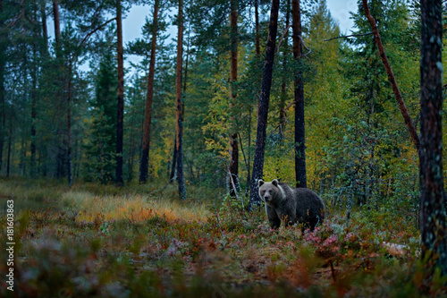 Bear hidden in dark forest. Autumn trees with bear. Beautiful brown bear walking around lake with fall colours. Dangerous animal in nature wood, meadow habitat. Wildlife habitat from wild Finland.