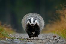 Flying Mammal. Badger In Forest, Animal Nature Habitat, Germany, Europe. Wildlife Scene. Wild Badger, Meles Meles, Wood Road. European Badger, Autumn Pine Green Forest. Mammal Environment, Rainy Day.