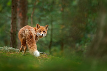 Fox in green forest. Cute Red Fox, Vulpes vulpes, at forest with flowers, moss stone. Wildlife scene from nature. Animal in nature habitat. Fox hidden in green vegetation. Animal, green environment.