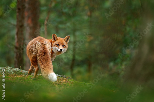 Fox in green forest Wallpaper Mural