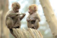 Two Cute Baby Baboon Sitting O...