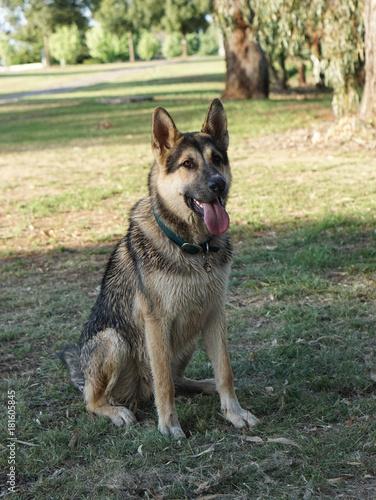 German Shepherd cross Husky Mix dog puppy in park - Buy this