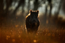 Wild Pig, Sunrise In Forest. A...