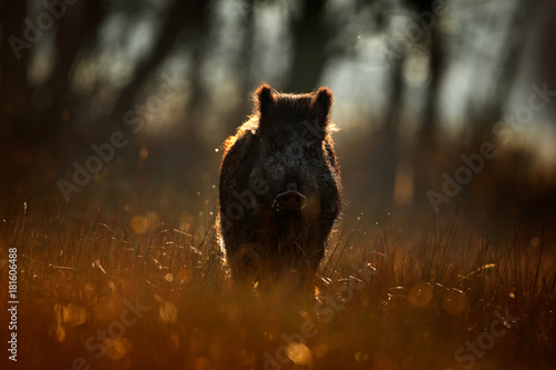 Wild pig, sunrise in forest. Autumn in the forest. Big Wild boar, Sus scrofa, running in the grass meadow, red autumn forest in background. Wildlife scene from nature. Running animal in grass meadow.