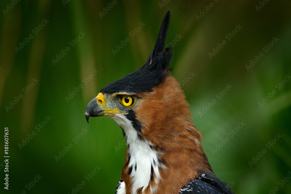 Ornate Hawk-eagle, Spizaetus ornatus, beautiful bird of prey from Belize. Raptor in the nature habitat. Bird of prey sitting on the tree. Crested Hawk Eagle on tree. Wildlife, tropic nature portrait.