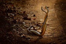 Indian Rat Snake, Ptyas Mucosa...