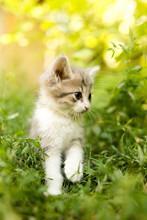 Little Kitten Is Walking In Gr...