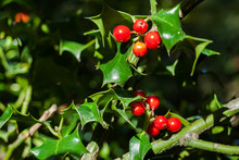 Close-up Of Ilex Aquifolium Or...