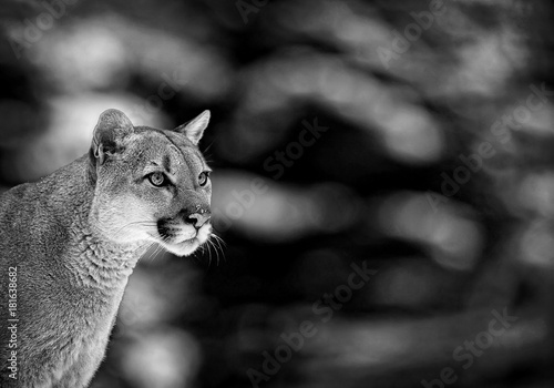 Poster Puma Portrait of a cougar, mountain lion, puma, panther. wildlife America