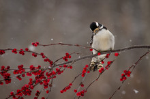 Downy Woodpecker On Berry Covered Branch In Winter