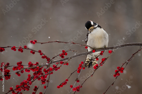 Photo  Downy woodpecker on berry covered branch in winter