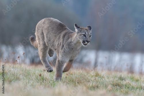Poster Puma Cougar (Puma concolor