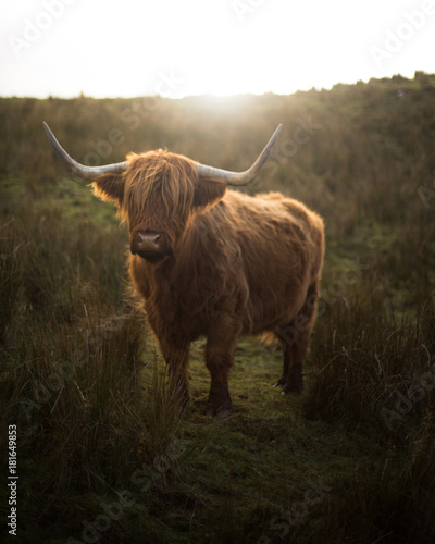 Canvas Prints Highland Cow Highland Cow