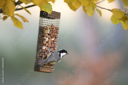 Tablou Canvas Tit bird on hanging from bird feeder in autumn