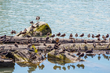 Sandpipers Resting On Floating...