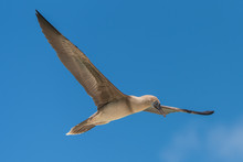 Brown Booby, Sula Leucogaster, Exotic Bird Flying In French Polynesia