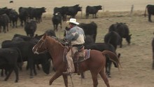Rancher Guiding His Herd Of Cattle