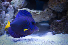 Purple Tang Marine Fish