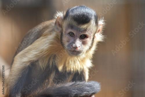 Fotografija  capuchin monkey