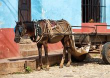 Alone Workhorse On A Cobblestone Street In Trinidad Cuba
