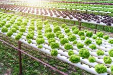 Organic Hydroponic Vegetable C...