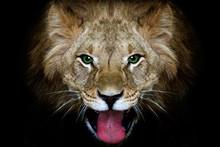 Portrait Of A Lion, Closeup, B...