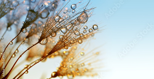 Obraz Dew drops on a dandelion seeds at sunrise close up. - fototapety do salonu