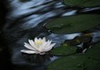Melancholy of water lily