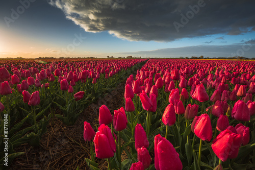 Poster Bordeaux Color of Holland. Tulips fields.