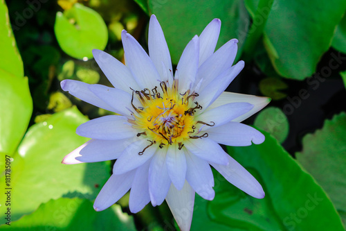 Photo  close blooming waterlily or lotus flower.