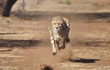 Running Cheetah, Exercising Wi...