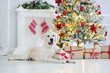 canvas print picture golden retriever dog lying down by the Christmas tree indoors