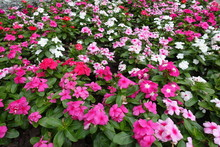 Lots Of Colorful Flowers Of Madagascar Periwinkle