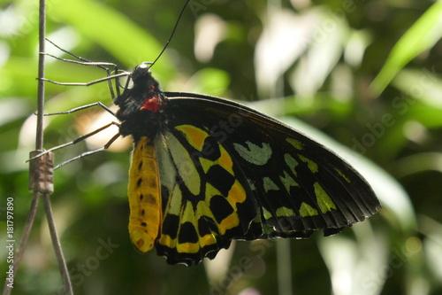 Photo Queen Alexandra's birdwing butterfly