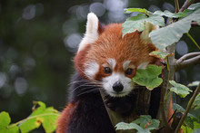 Close Up Portrait Of Red Panda...