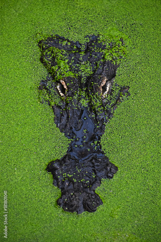 Fototapeta premium Close up portrait of crocodile in green duckweed
