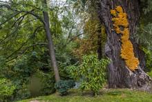 Huge Yellow Bracket Fungus Lae...