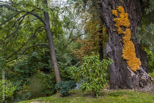 Huge yellow bracket fungus Laetiporus sulphureus on a tree © photoflorenzo