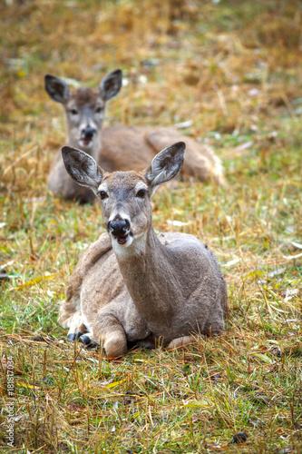 Spoed Fotobehang Kangoeroe Two deer laying down in grass on the east side of Coeur d'Alene, Idaho.