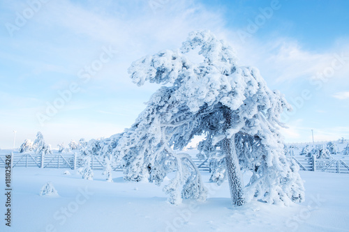 Fotografie, Obraz  A Tree Covered With Heavy Snow with Blue Sky In Lapland Finland, Northern Europe