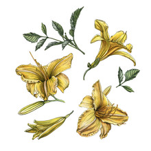 Flowers Set Of Watercolor Yellow Daylilies And Leaves