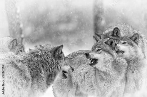 Wolf Pack Bonding