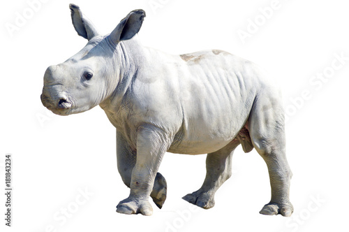 Small rhinoceros on a white background in a wildlife park in France