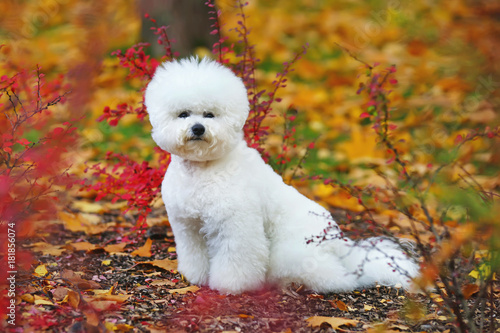 Photo White Bichon Frise dog with a stylish haircut posing outdoors in autumn