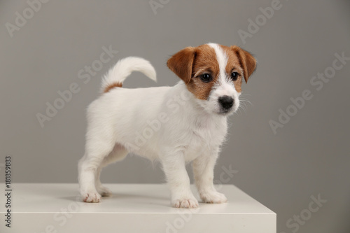 Stampa su Tela Playful jack russell terrier. Close up. Gray background