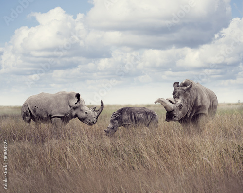 Foto op Plexiglas Neushoorn White rhinoceros or square-lipped rhinoceros