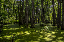 Cypress Swamp At Mississippi W...
