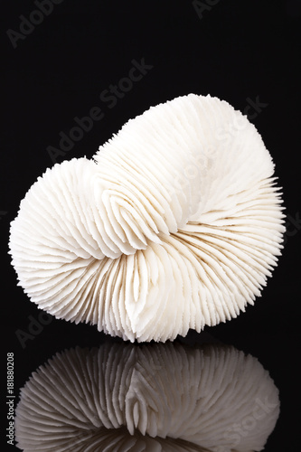 Sea shell of fungia coral isolated on black background